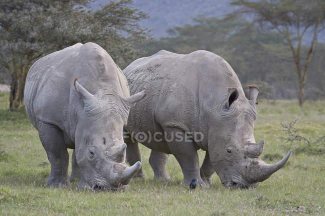 Rinoceronte bianco due — Foto stock