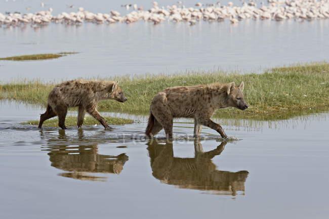 Due macchiato Iena a piedi in acqua — Foto stock