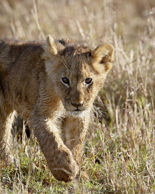 Лев, Лев детеныш — стоковое фото