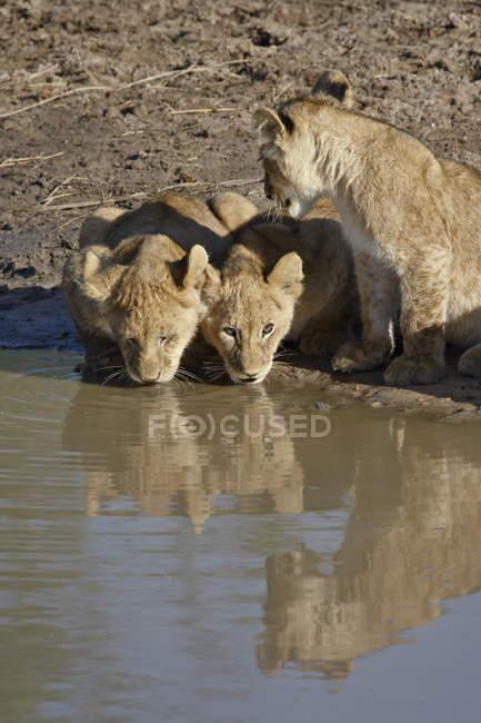Filhotes de Panthera leo bebendo — Fotografia de Stock
