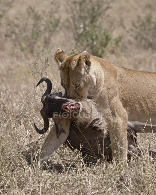 Lioness dragging Blue Wildebeest — Stock Photo