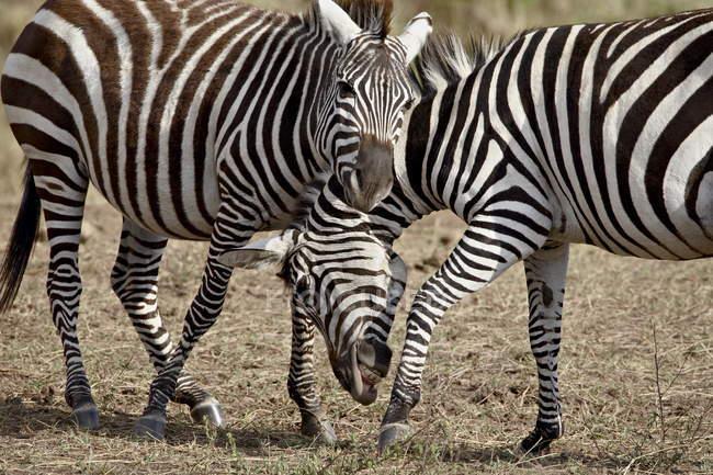 Два чоловіки гранти зебр — стокове фото