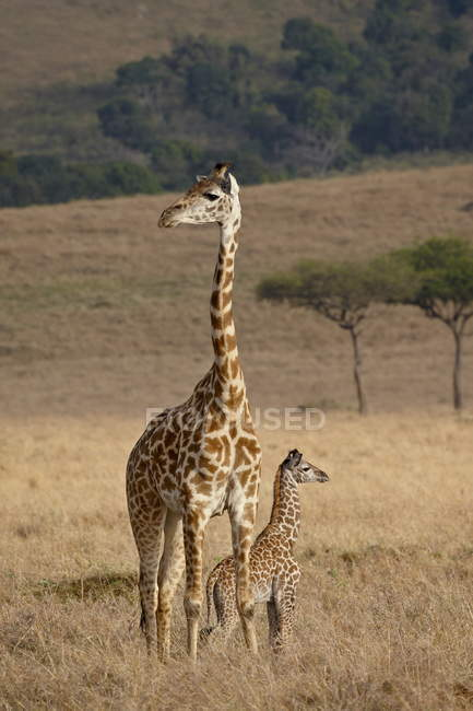 Mother and baby Masai Giraffes — Stock Photo