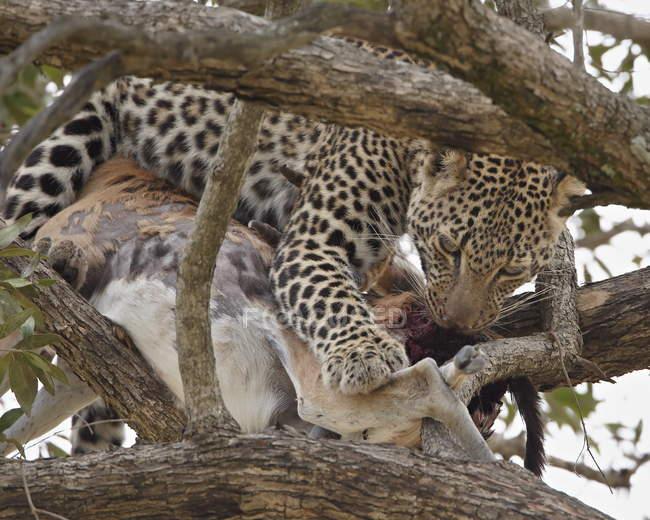 Leopardo con mangiare la gazzella di Thomson — Foto stock