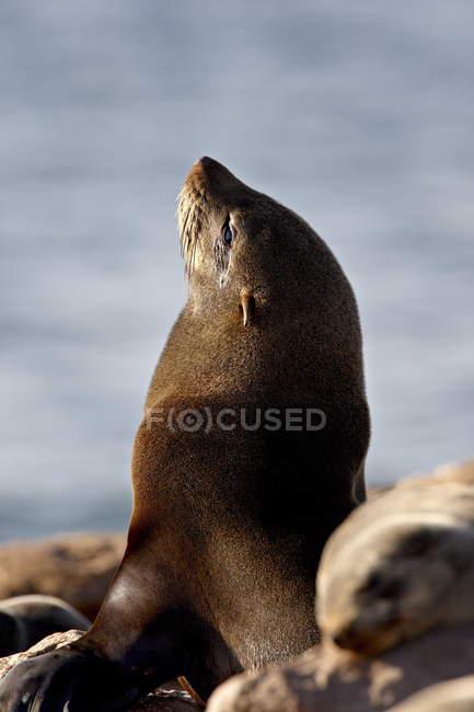 Kap-Seebär — Stockfoto