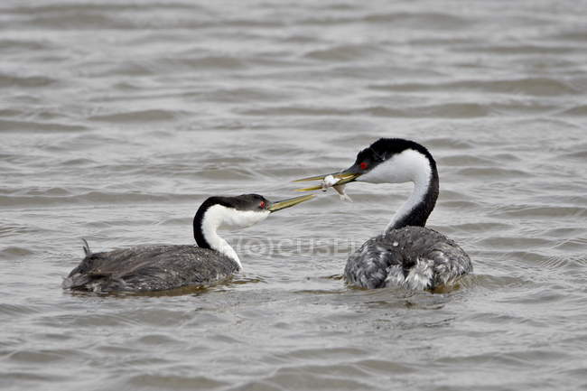Cortejo de grebe occidental - foto de stock
