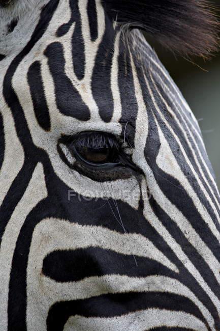 Reserva de caza Imfolozi de cebra de Chapman - foto de stock