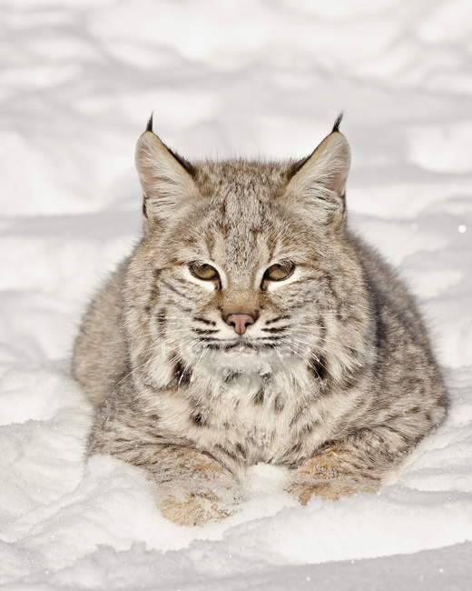 Bobcat in snow in captivity — Stock Photo