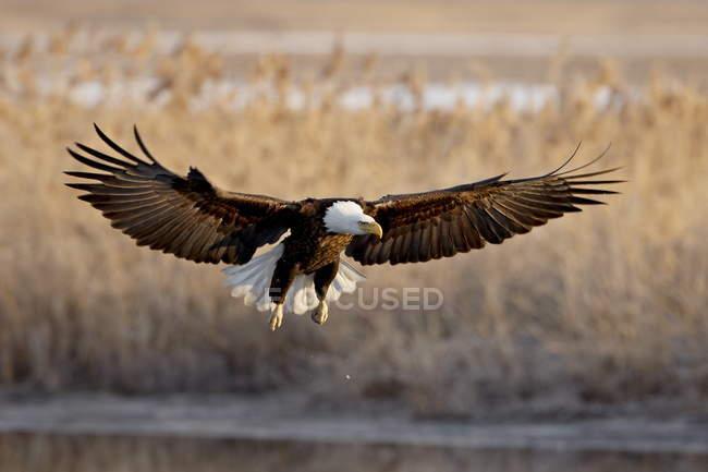 Bald eagle in volo — Foto stock