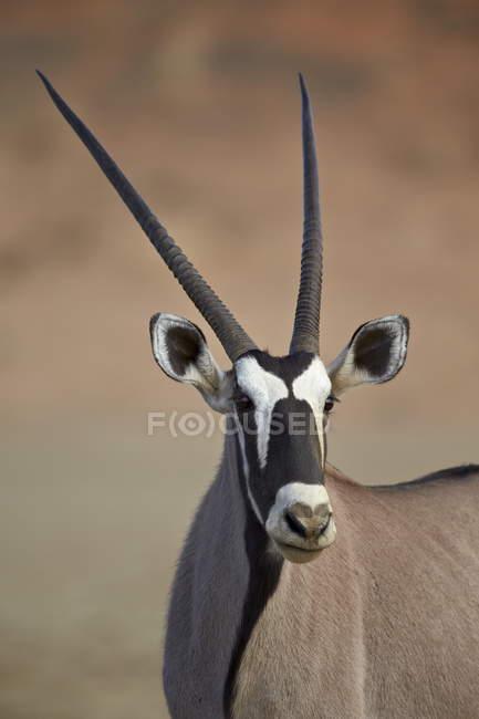 Südafrikanische oryx — Stockfoto