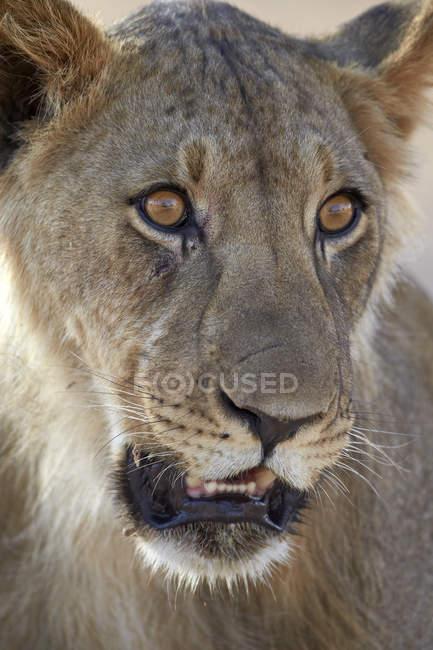 Junge männliche Löwen, Panthera leo — Stockfoto