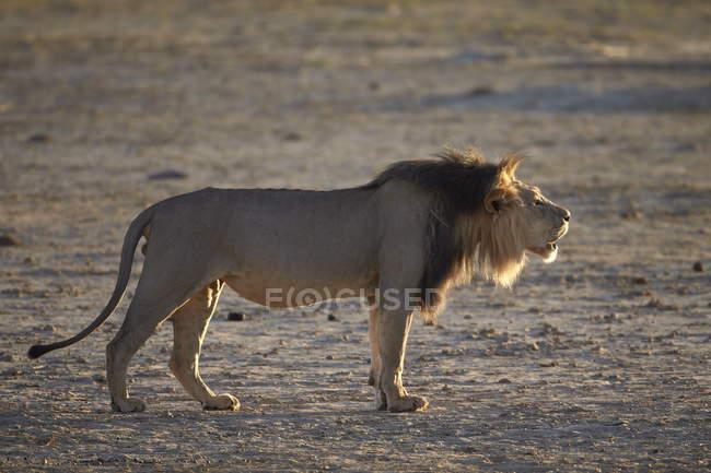 Лев, лев реветь — стоковое фото