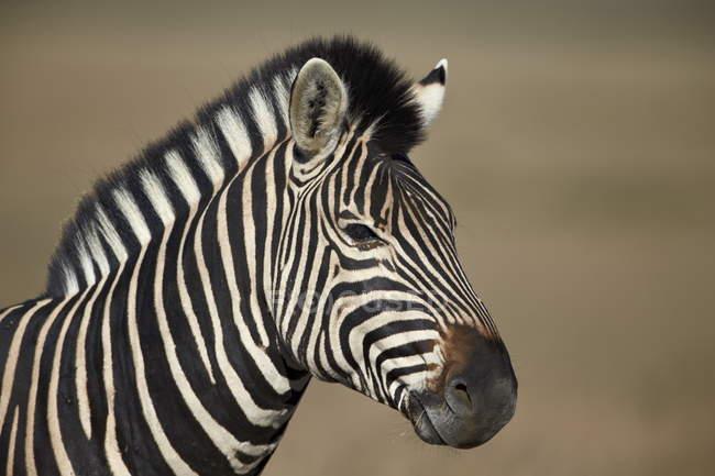 Zebra comune a Mountain Zebra National Park — Foto stock