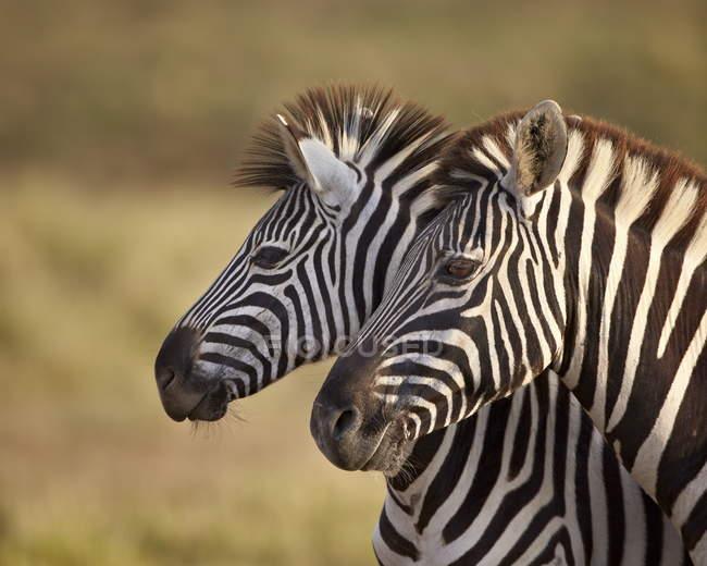Carro attrezzi comuni zebre — Foto stock