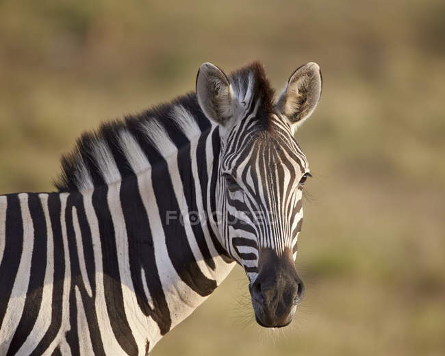Загальні Зебра в національному парку гори Зебра — стокове фото