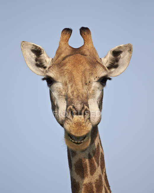 Close-up de girafa de cabo — Fotografia de Stock
