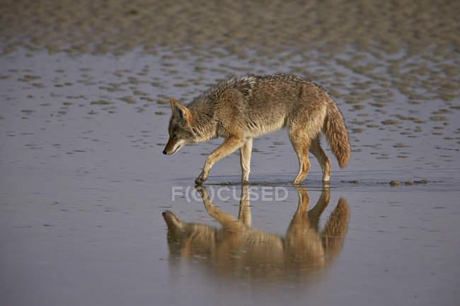 Койот, що ходьба на мілкій воді — стокове фото