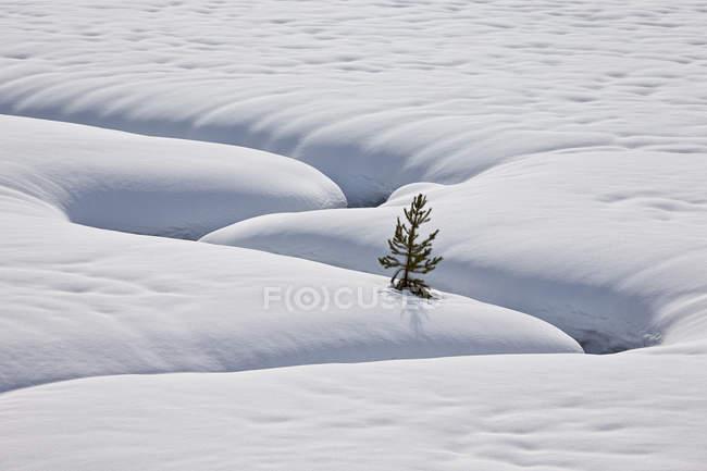 Arbre à feuilles persistantes solitaire dans la neige avec des cours d'eau sinueux — Photo de stock