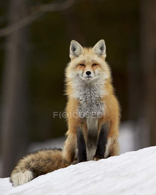 Лисиця руда снігу — стокове фото