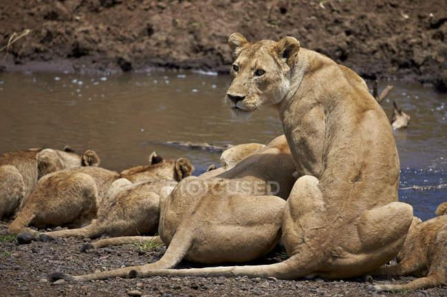 Leones, Panthera Leo beber - foto de stock