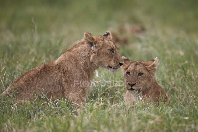 Leones, cachorros del Leo de Panthera - foto de stock