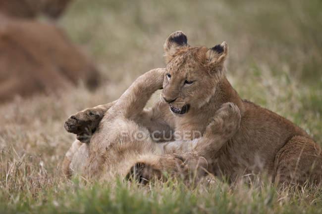 Львы, Panthera Leo детенышей игра — стоковое фото