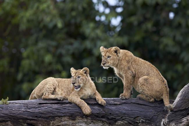 Cachorros del leo de Panthera - foto de stock