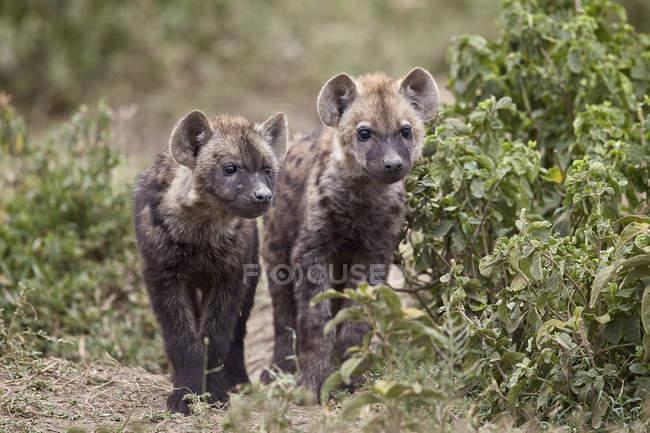 Два щенки Гієна плямиста — стокове фото