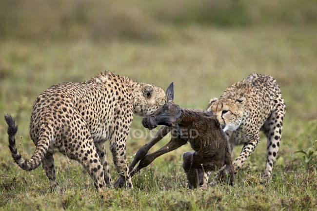 Due ghepardi maschi uccidendo wildebeest — Foto stock