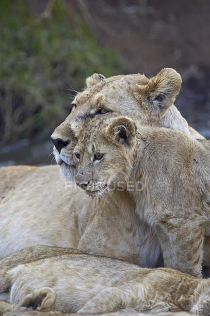 Лев самки і дитинча — стокове фото