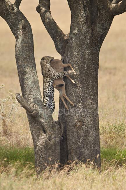 Corpo di wildebeest blu trasportante leopardo — Foto stock