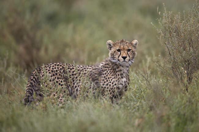 Cucciolo di ghepardo nell'erba alta — Foto stock