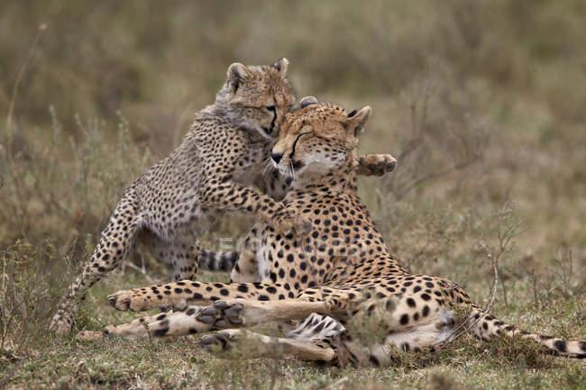 Гепардів, Acinonyx jubatus — стокове фото