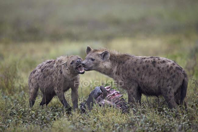 Iene maculate, mangia il corpo di GNU — Foto stock