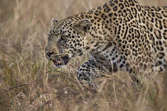 Leopardo en campo de hierba alta - foto de stock