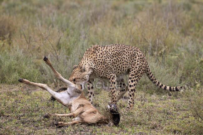 Ghepardo maschio uccidendo wildebeest blu — Foto stock