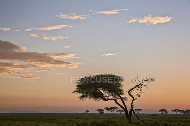 Albero dell'acacia e nubi ad alba — Foto stock