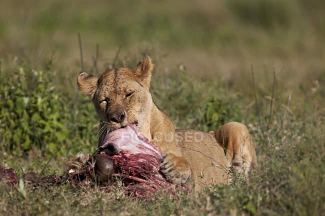 Львица, Panthera leo — стоковое фото