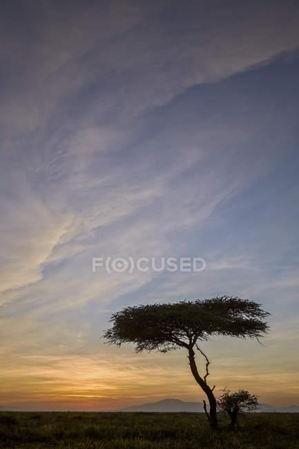 Albero di acacia e nubi ad alba — Foto stock