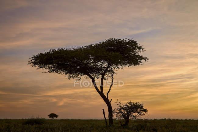 Alberi di acacia e nubi ad alba — Foto stock