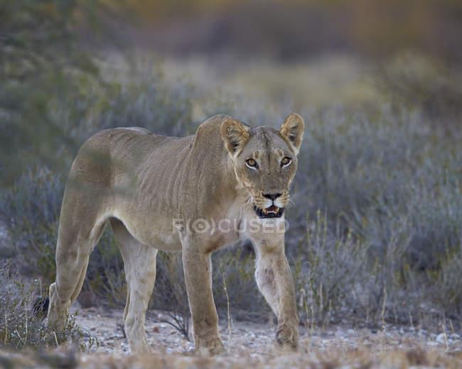 Löwin, Panthera leo — Stockfoto