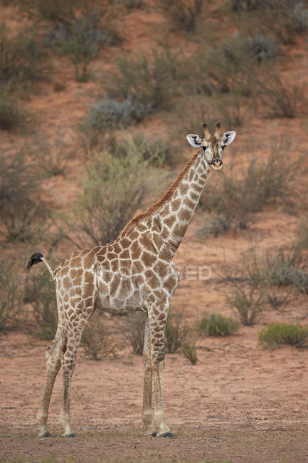 Kap-Giraffe im Kgalagadi Transfrontier Park — Stockfoto