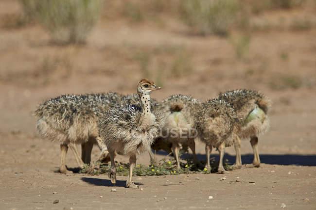Загальні страус курчат — стокове фото