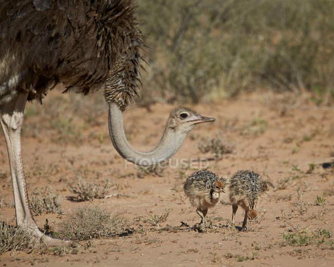 Загальні страус жінка смокче два члени — стокове фото