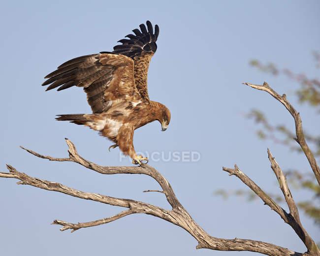 Степовий орел на Гілка дерева — стокове фото