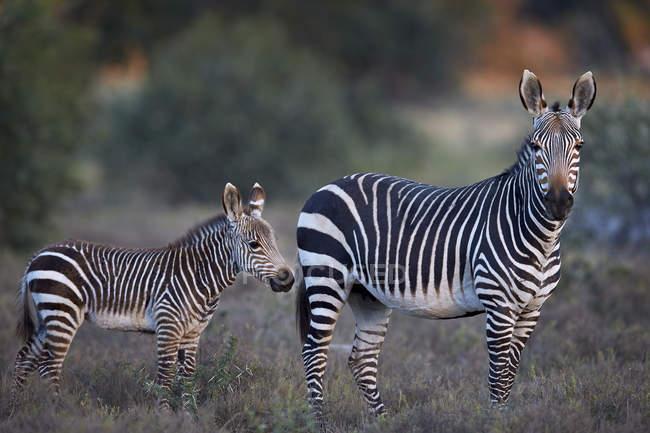 Мис гора зебр — стокове фото