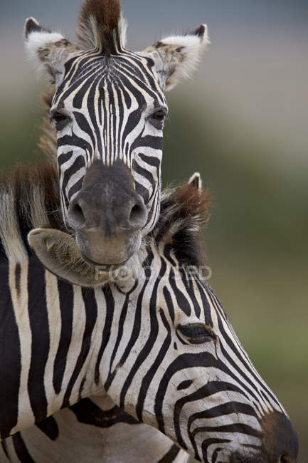 Two Common zebras — Stock Photo