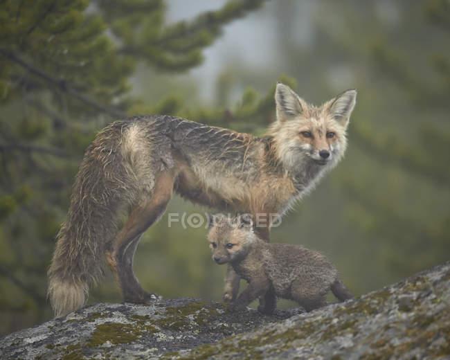 Лисиця руда і комплект в туман — стокове фото