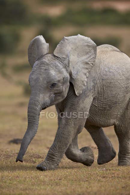 Young African elephant walking — Stock Photo