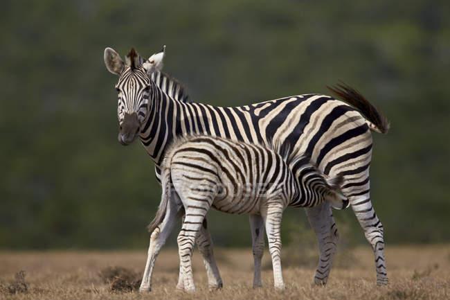 Comune zebre, mare suo puledro di professione d'infermiera — Foto stock